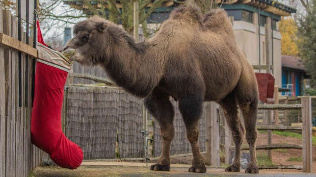 Genghis the camel ventures out of his paddock for his very own stocking at ZSL London Zoo