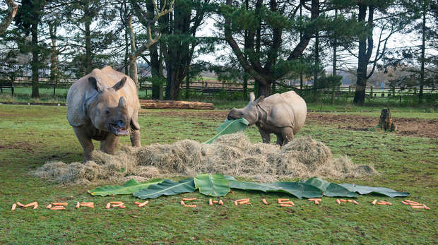 Rhinos Behan and Zhiwa tuck in to their Christmas veg