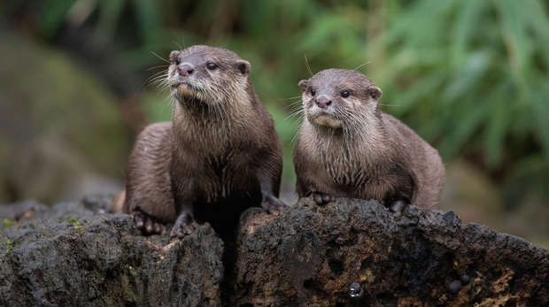 Two otters at ZSL London Zoo