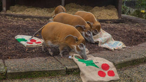 Red river hogs play with their festive blankets