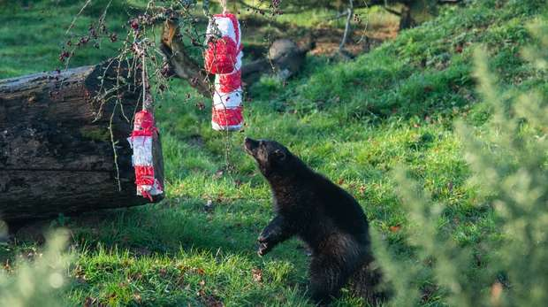 Wolverines tear into candy cane pinatas at ZSL Whipsnade Zoo