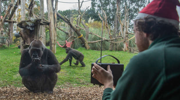 Gorillas at ZSL London Zoo choose Christmas No.1