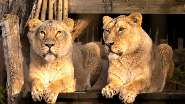 two female lions sat on a ledge