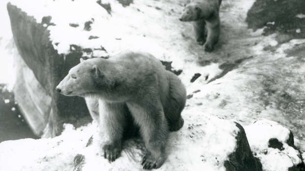 1933 - Two polar bears climbing rocks in their enclosure