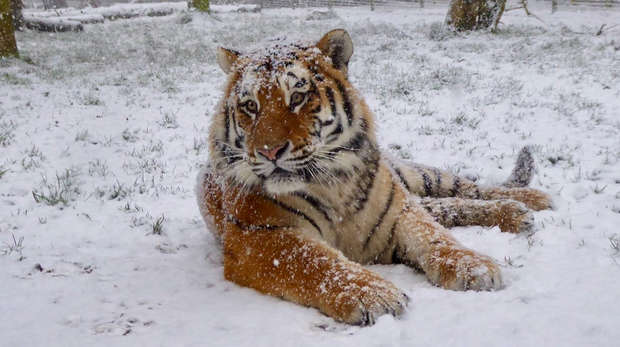 Amur tiger Dmitri posed perfectly in the snow for keeper Kate Speller at ZSL Whipsnade Zoo
