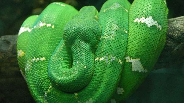 Figure 1 - An adult emerald tree boa resting on a branch © Derek Ramsay, used under license (CC BY-SA 2.5)