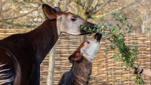 Okapis Oni and Ede enjoy their lunch at ZSL London Zoo