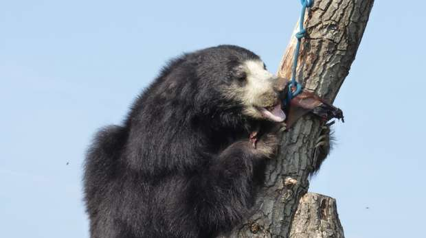 Colombo the sloth bear eats his breakfast in a tree at ZSL Whipsnade Zoo