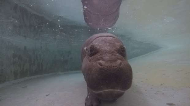 Tapon the pygmy hippo swims underwater at ZSL Whipsnade Zoo