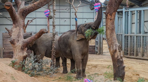 Our Asian elephants celebrate Valentine's Day at ZSL Whipsnade Zoo
