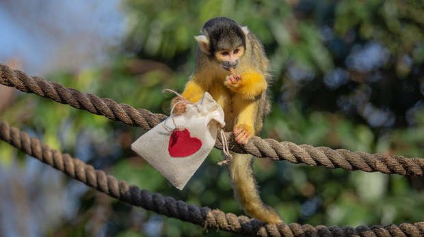 A squirrel monkey poses with Valentine's bag filled with treats at ZSL London Zoo