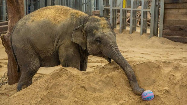 Elizabeth the elephant enjoys Easter treats at ZSL Whipsnade Zoo