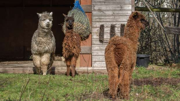 Meet our new alpaca trio at ZSL London Zoo