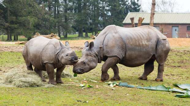 Greater one horned rhinos Behan and daughter Zhiwa