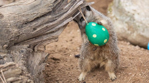 A meerkat at ZSL London Zoo with Easter treats
