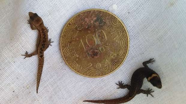 Two Colombian Dwarf Geckos next to a coin