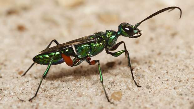A jewel wasp at ZSL London Zoo