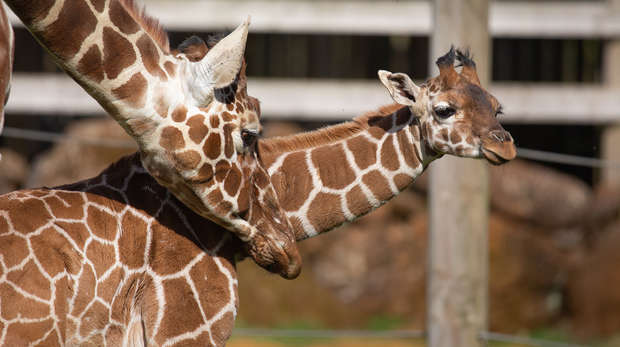 Giraffe calf Margaret takes her first steps outside