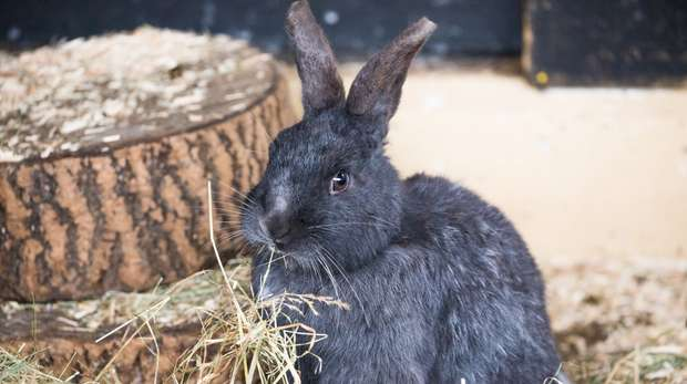 A rabbit in our Hullabazoo Farm area of ZSL Whipsnade Zoo