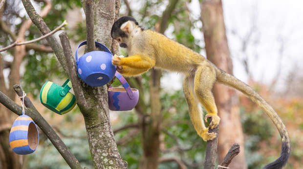 A squirrel monkey with Easter eggs at ZSL London Zoo