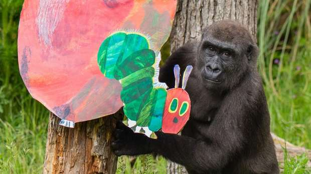 Alika the gorilla investigates super-sized fruits ahead of The Very Hungry Caterpillar activities at ZSL London Zoo