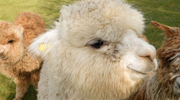 Ica the alpaca at ZSL Whipsnade Zoo