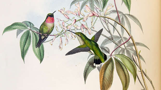 Colour print of two green hummingbirds with a red throat next to pale pink flowers