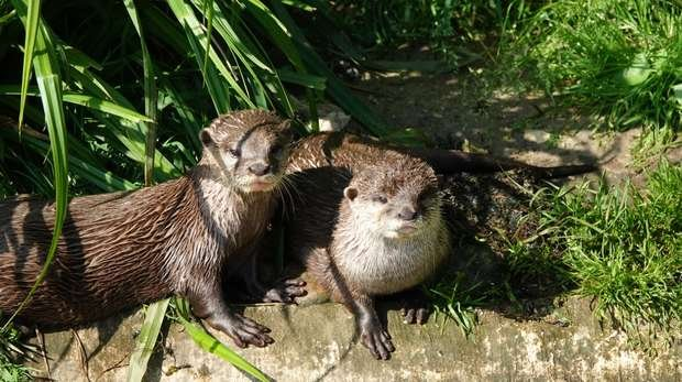 Otters Carol and Ernie at ZSL Whipsnade Zoo