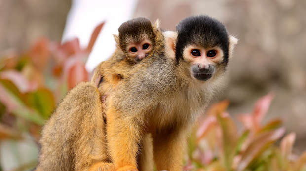 squirrel monkey with baby on back