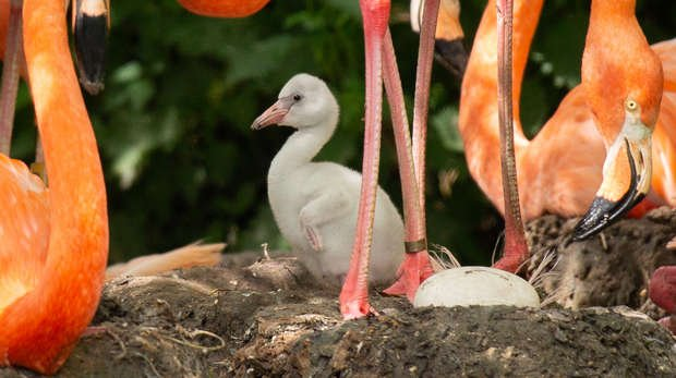 A flamingo chick at ZSL Whipsnade Zoo