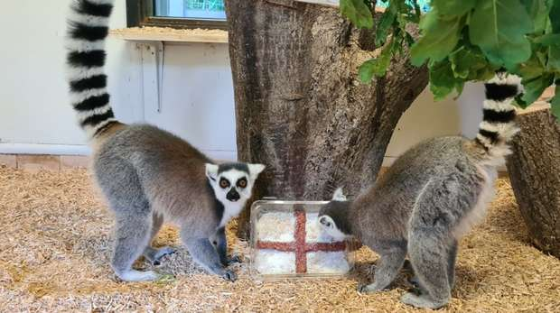 Our lemurs at ZSL Whipsnade Zoo predict an England win
