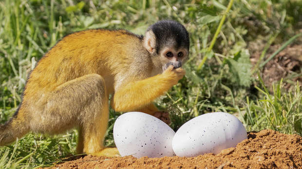 A squirrel monkey explores dinosaur eggs at ZSL Whipsnade Zoo ahead of the opening of Zoorassic Park