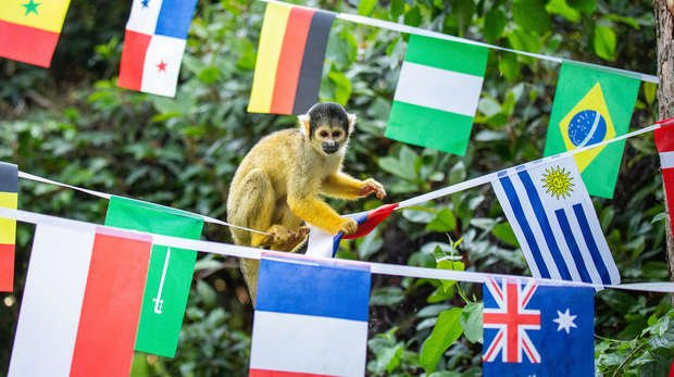 Squirrel monkeys help to put up bunting at ZSL London Zoo