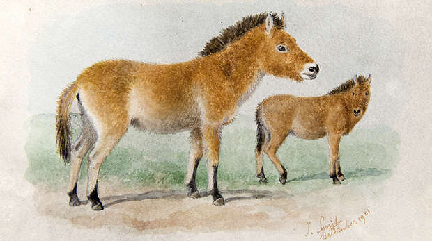 Watercolour of two Przewalski horses standing, a side view