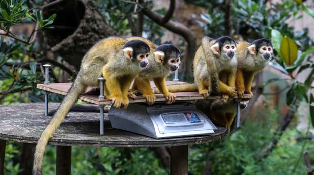 Bolivian black-capped squirrel monkeys are weighed at ZSL London Zoo