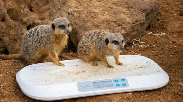 Two meerkats at the annual weigh in at ZSL Whipsnade Zoo