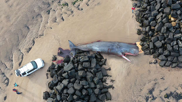 Sperm whale in Northumberland taken by drone © Rob Deaville