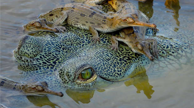 Gharial and hatchlings © Phoebe Griffith
