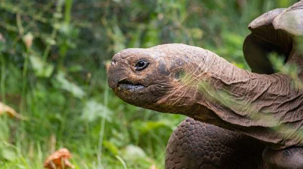 Polly the Galapagos tortoise at ZSL London Zoo