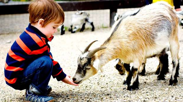 A young boy with goat