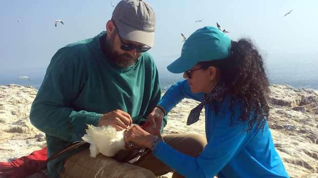 Two scientists fit an acoustic logger onto a gannet