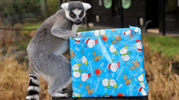 Lemur with a Christmas present