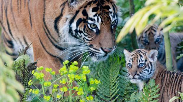 melati with tiger cubs