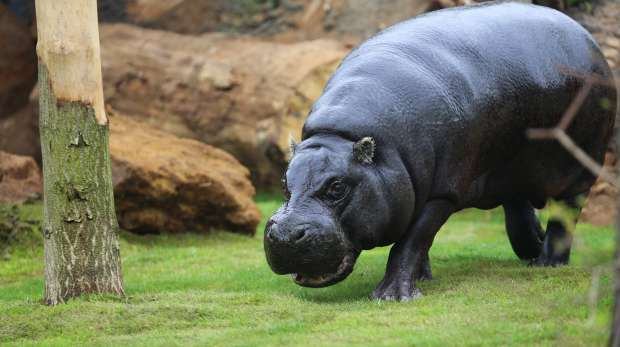 Thug the pygmy hippo in his new exhibit