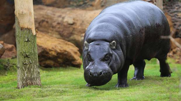 Thug the pygmy hippo in his new enclosure