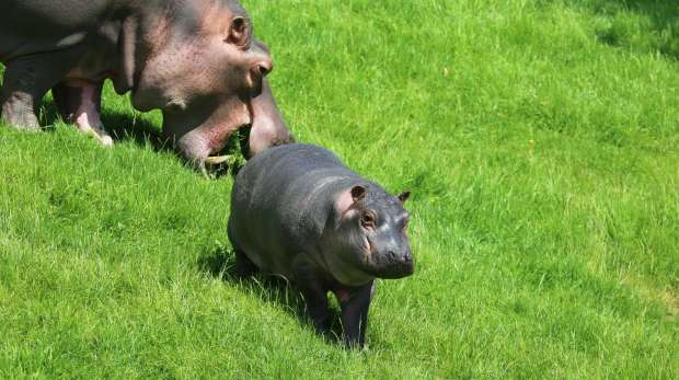 Baby hippo waits for her mum