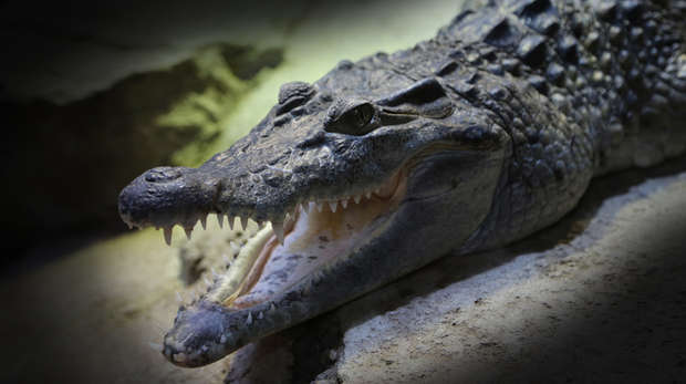 Philippine crocodile - photo#19