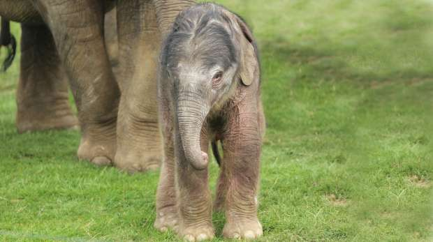 Newborn elephant calf