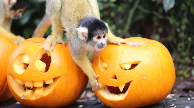 Squirrel monkeys and pumpkins