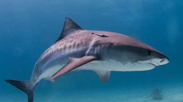 The impressive tiger shark
